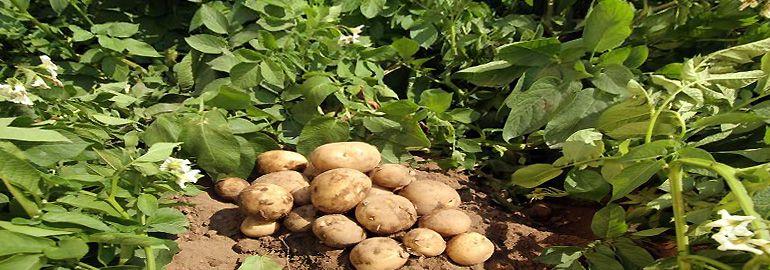 Η εργασία των κηπουρών στα λαχανικά